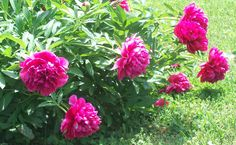 i'd love a yard loaded with peonie bushes again <3