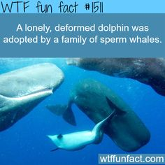 A dolphin gets adopted by whales WTF FUN FACTS HOME  /  See MORE TAGGED/ Animals FACTS (source)