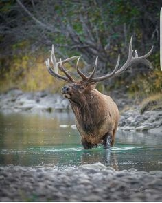 Gorgeous bull elk wading through the river!