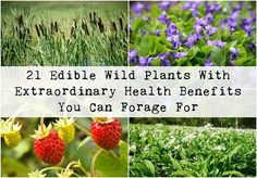21 Edible Wild Plants With Extraordinary Health Benefits You Can Forage For