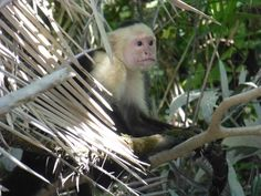 Another monkey from river tour in Costa Rica - Palo Verde National Park