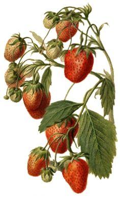 La fresa, un arbusto.