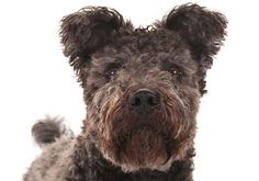 in 2015 the AKC admitted the Hungarian Pumi into the breed registry