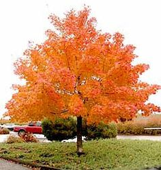 Google Image Result for http://www.bigwoodtrees.com/Images/maples/pacific_sunset.jpg