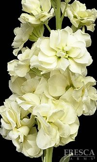Purple stocks pinterest flowers flower and gardens ivory stock flowers i love love love these flowers and the beautiful mightylinksfo