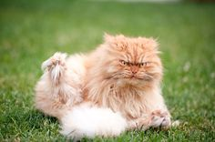angriest cat in the world - http://www.huffingtonpost.com/2014/10/07/angry-cat-garfi-photos_n_5948950.html?utm_hp_ref=mostpopular