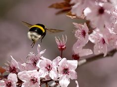 """A bumble in """"April Rush"""" by Kamran Efendiev. So fuzzy and cute and look at those little legs!"""