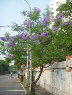 藍花楹〈紫鳳凰〉