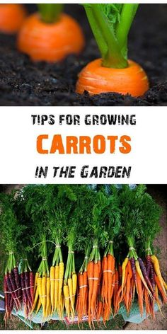 Tips for Growing Carrots in the Garden, including how to start carrot seeds, how to transplant and care for carrot seedlings, and how to harvest carrots - Gardening For Life Home Vegetable Garden, Fruit Garden, Edible Garden, Veggie Gardens, Growing Carrots, Growing Vegetables, Gardening Vegetables, Growing Tomatoes From Seed, Growing Onions