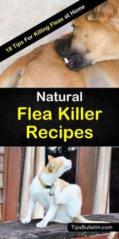 Learn how to make natural flea killers to help out your cats and dogs and make your life easier. It is easy to get rid of fleas and bed bugs with a simple homemade spray. Home Remedies For Fleas, Flea Remedies, Natural Cough Remedies, Herbal Remedies, Health Remedies, Flea Remedy For Dogs, Flea Spray For Dogs, Flea And Tick Spray, Natural Flea Killer