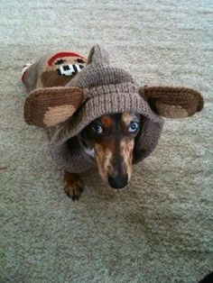 no questions im in the  DDA Dachshund detective assotiation.