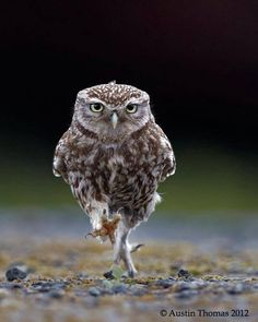 Love this marching owl!