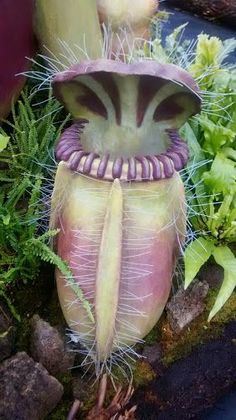 Nepenthes cehalotus model - note the scale. Philip Evans photo.
