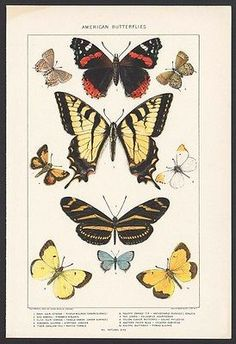 ANTIQUE INSECTS/BUTTERFLIES PRINT -10 SPECIES -COLOR LITHOGRAPH- 110+ YEARS OLD!