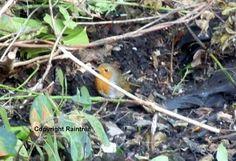 Diary Of A Wild Country Garden: Robin Garden Visitor Brave, Robin, Wildlife, Birds, Country, Garden, Pretty, Flowers, Nature