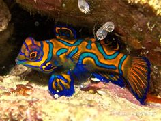 Water Life: The amazing Mandarinfish or Mandarin Dragonet (Synchiropus splendidus), a small, brightly-colored member of the dragonet family. It is native to the Pacific, ranging aprox. from the Ryukyu islands south to Australia Underwater Creatures, Underwater Life, Ocean Creatures, Weird Creatures, Poisson Mandarin, Mandarin Fish, Saltwater Aquarium Fish, Saltwater Tank, Colorful Fish