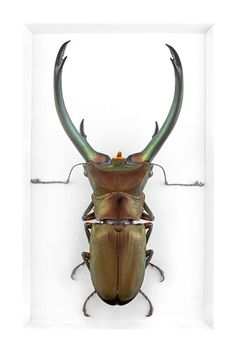 Burnished Stag Beetle Wall Art