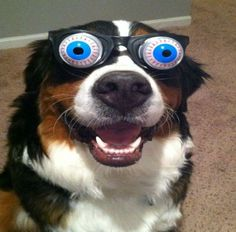 funny animals with glasses gallery dog crazy eyes Funny Animals Wearing Glasses Photo Gallery