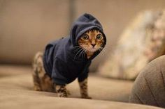 Suspicious kitty in hoodie; believed to be carrying Skittles....