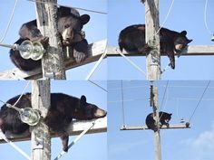 Bear takes a nap on top of a power pole. Near Shellbrook SK. Take A Nap, Take That, O Canada, Bald Eagle, Cute Animals, Bear, Top, Pictures, Cutest Animals