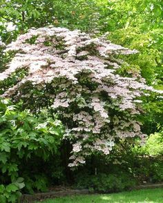 japanese snowball - Viburnum plicatum var. tomentosum 'Molly Schroeder' -- pink flowers and varying leaf color through the season. likes being planted in groupings.