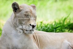 Dozing white lion (Panthera Leo), South Africa Snatch Stock Images - Stock Photography | Vectors | Graphics | Videos