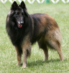 Belgian Tervuren's, grew up with these amazing dogs! Hope I can own one sooooon!