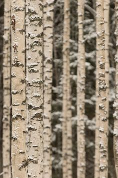 "Buy the royalty-free Stock image ""Birch woods on winter"" online ✓ All image rights included ✓ High resolution picture for print, web & Social Media Winter Images, High Resolution Picture, Birch, Woods, Stock Photos, Texture, Pictures, Surface Finish, Photos"