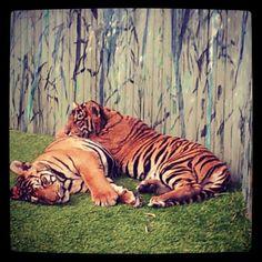 Cute tiger cubs at Dreamworld Cute Tiger Cubs, Cute Tigers, Cute Animals, Fandoms, Cats, Places, Fun, Pretty Animals, Gatos