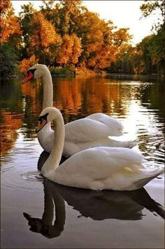 Beautiful Swan, Beautiful Birds, Animals Beautiful, Beautiful Pictures, Cute Animals, Blue Butterfly Wallpaper, Wallpaper Nature Flowers, Cute Wallpaper Backgrounds, Scenery Pictures