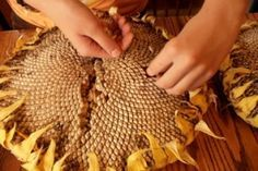 Brining and harvesting sunflower seeds. The 3rd person writing style used here gets really old really fast, but be patient! There's some good info here. ;-)