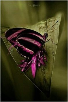 Beautiful butterfly. Pink and black.