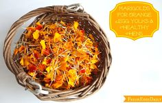 Fresh Eggs Daily®: Marigolds for Orange Egg Yolks and Healthy Chickens