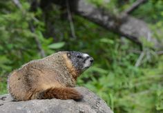 You talkin' to me? Don't mess with Yellowstone National Park yellow-bellied marmots [oc][1417x989]