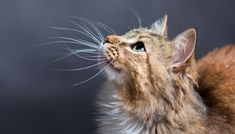 Hyperthyroidism is a common issue in senior cats, but it is treatable. Here's what you should know about feline hyperthyroidism symptoms and treatments. Owning A Cat, Cat Whiskers, Feral Cats, Pet Life, Cat Facts, Maine Coon, Beautiful Cats, Cat Breeds, Crazy Cats