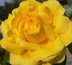 Linda rosa amarela!