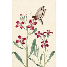 Watercolour painting of a Gilliflower from a set of drawings from a nature album by Jacques Le Moyne.