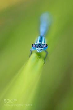 Blue Damselfly by MattGould via http://ift.tt/2sSqzLI