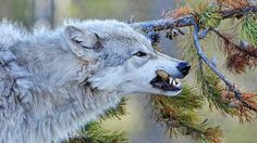 Wolf Attempts to Eat the Head of Extremely Cool Teen