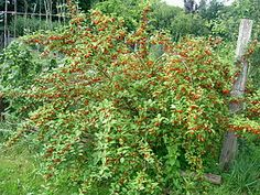Goumi berry. Large shrub. Nitrogen Fixer! Berries are very high in Vitamin C that help break down fats in blood.