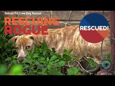 Scared Hungry Pit Bull Neglected by Animal Control Rescued: Ep # 7 Rescuing Rogue w Detroit Pit Crew - YouTube