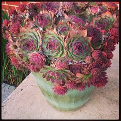 Hens  Chicks 3 years in same pot. Never water, never move the pot. Gets prettier and prettier. #succulent