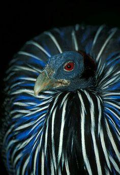 Vulterine Guineafowl~