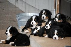 litter of berners