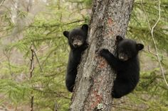 Black bear cubs. We saw a sow and her three cubs while we were in Yosemite! They were about this size and Mama had them in a tree while she rolled around and played in a field of wildflowers. I bawled like a baby.