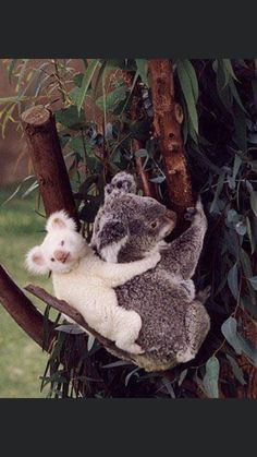 Baby Panda Bears, Koala Bears, Cute Baby Animals, Animals And Pets, Australia Animals, Mundo Animal, Tier Fotos, Cute Creatures, Funny Animal Pictures