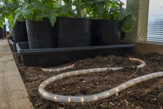 """Close-up of Christmas light """"glo-worm"""" — an inexpensive and reliable way to warm soil in a greenhouse or hoophouse (also called a high tunnel)."""