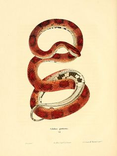 Coluber guttatus by BioDivLibrary on Flickr. North American herpetology :. Philadelphia :J. Dobson,1836-1840.. biodiversitylibrary.org/page/3688440