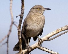 Bendire's Thrashers can be found at Pancho Villa State Park, which is part of the SW NM Birding Trail