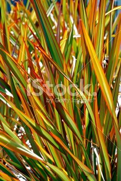 New Zealand flax - 9 Beautiful Low-Water Plants - Sunset Up the serenity in your garden with these easy-care, low-water plants Tropical Landscaping, Tropical Garden, Front Yard Landscaping, Landscaping Ideas, Tropical Plants, New Zealand Flax, Front Yard Garden Design, Easy Care Plants, Landscape Design Plans